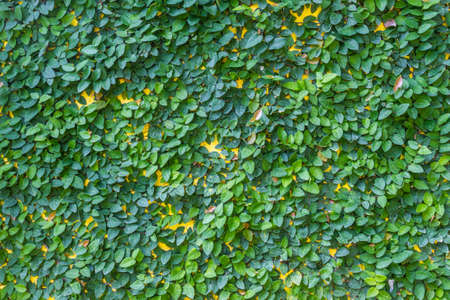 climbing fig: Climbing fig on the yellow wall. Weed covered wall  Stock Photo