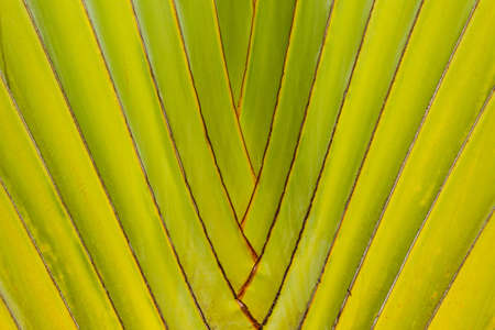 Beautiful shape of Travelers Palm Tree leaves photo