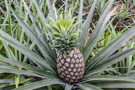 Close up pineapple fruit farm growing nature background photo