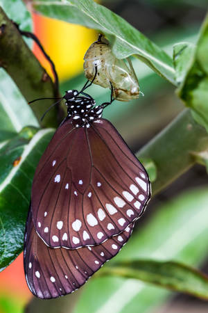 transfigure: Butterfly (Common lndian Crow) emerged from cocoon in the nature, Milkweed Mania.