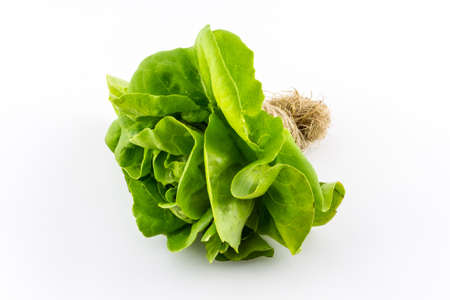 Butterhead salad isolated on the white background.