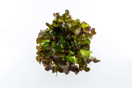 Red Oak salad isolated on the white background. Archivio Fotografico