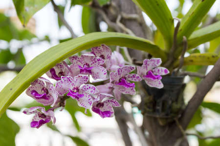 the species orchid (Rhynchostylis gigantea flower) of thailand  photo