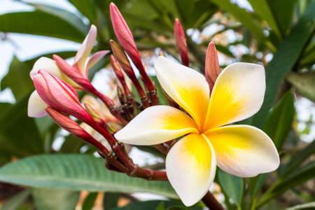 Close up of plumeria or frangipani.) blossom on the tree. photo