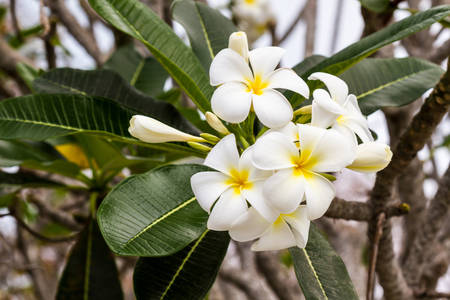 Close up of plumeria or frangipani blossom on the  plumeria tree. photo