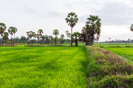 sugar palm: Paddy rice field with a sugar palm (toddy palm) tree in thailand.
