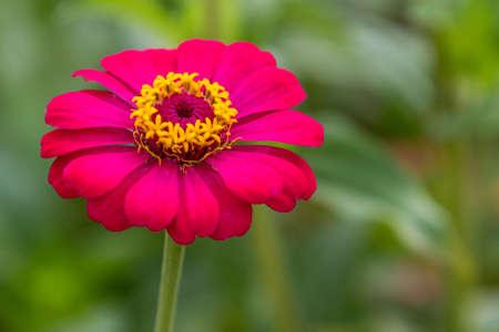 Close up purple zinnia flower in the garden photo