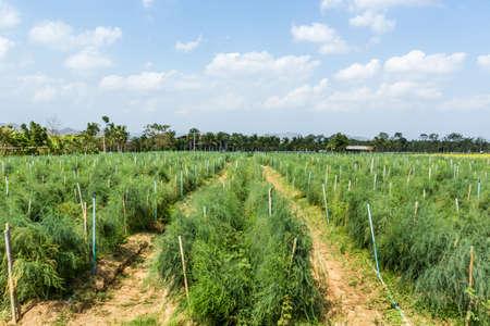 Asparagus field on ground in vegetable garden. photo