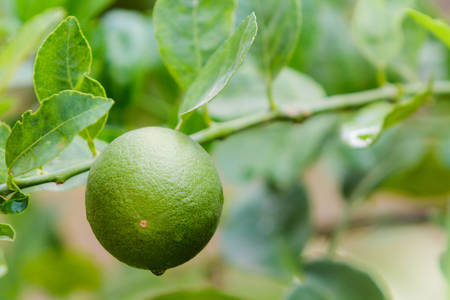 Fresh green lime  hanging on a lime tree photo