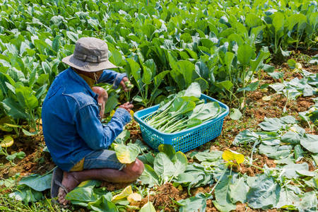 cultivator: A gardener planting Chinese kale vegetable in garden. Stock Photo
