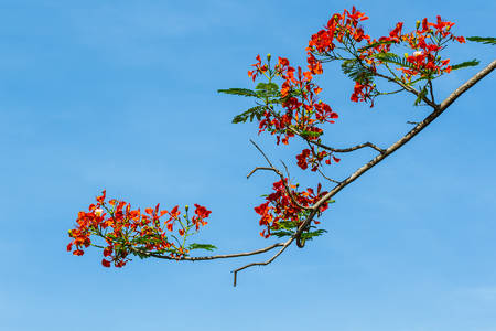 fabales: Limb the royal poinciana or gulmohar flowers alone in the summer on blue sky