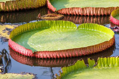 Close-up Enorme drijvende lotus, Giant Amazon waterlelie, Victoria amazonia, Victoria amazonica en Victoria cruziana. Stockfoto