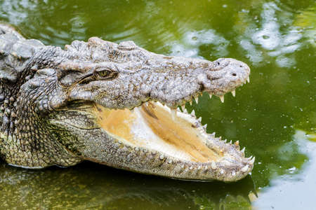 Close up of header crocodile in the water. photo