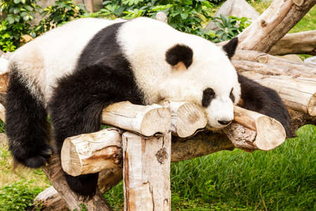 Sleeping chinese giant panda on the timber. photo
