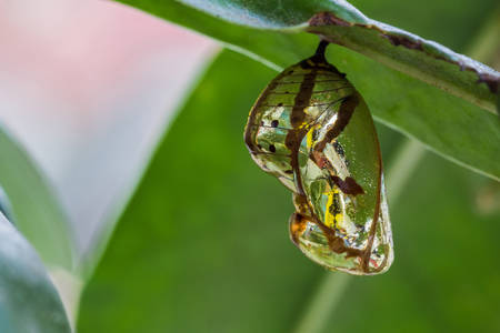 A beautiful Monarch chrysalis  Danaus plexippus  hanging on branch