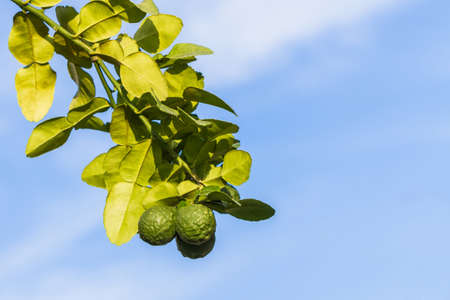sanguisuga: Kaffir lime su albero all'aperto su sfondo blu cielo, sanguisuga calce. Archivio Fotografico