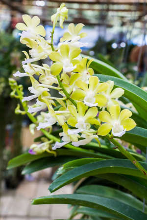 dendrobium: Yellow orchid flower with green leaves on flowerpot.