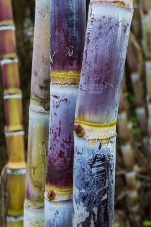 close up: Close up sugar cane plants nature background.  Stock Photo