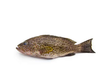 Fresh areolate grouper (epinephelus areolatus) fish on white background .