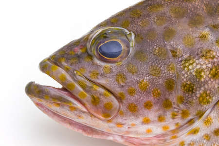 epinephelus: Fresh areolate grouper (epinephelus areolatus) fish on white background .