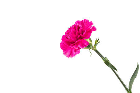 Pink carnation flower isolated on white background.