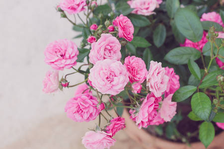 rosas rosadas: Homosexual Rosa rosa flor en la imagen en colores pastel de �rbol,. Foto de archivo