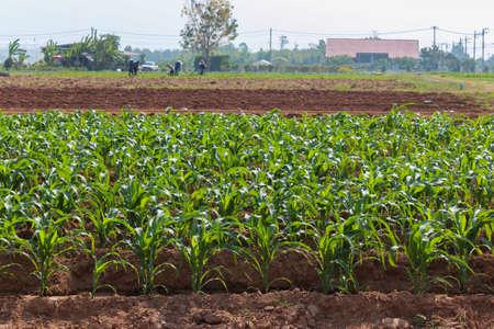 planta de maiz: El ma�z conocido como el ma�z es una planta grande grano .El frondoso tallo produce o�dos que contienen el grano, que son las semillas llamadas los corazones, la agricultura.