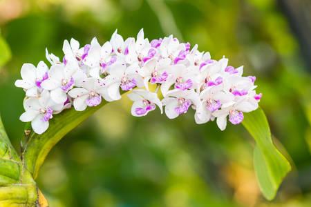 gigantea: The species orchid (Rhynchostylis gigantea flower) on tree, nature background.