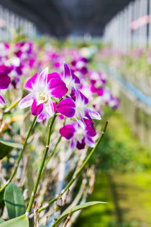 orchid house: Orchid flowers blooming in orchid farm, agriculture, Thailand. Stock Photo