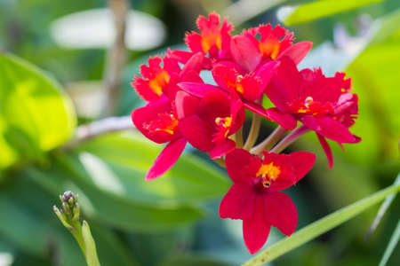 orchid: Epidendrum Orchid is a species of orchid are native to the tropical Americas