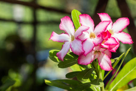 impala lily: Closeup of Pink Desert Rose or Impala Lily tropical flower.