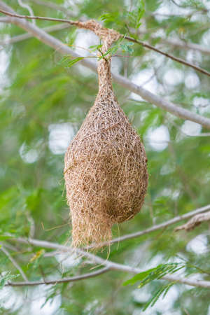 weaver bird nest: Nest of Ploceus philippinus is a weaver bird on tree.