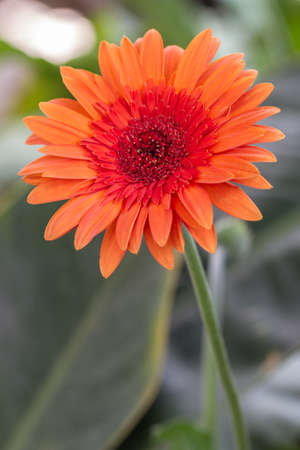 barberton daisy: Closeup a orange gerbera daisy flower in the garden. Stock Photo