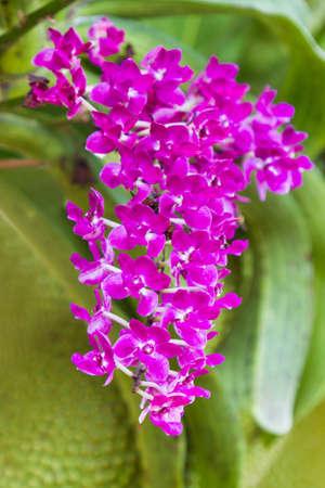 orchidea: Beautiful purple orchid flower tropical plants Stock Photo