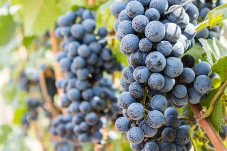 grapes: Uva granja, uvas oscuras maduras con las hojas listas para ser cosechadas, en Tailandia.