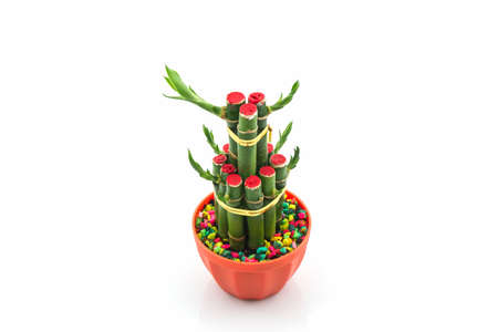 Young sprout of Ribbon dracaena tree grown-up, Lucky bamboo, Belgian evergreen, Ribbon plant
