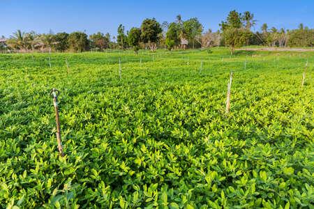 groundnut: Peanut field, Groundnut field on ground in vegetable garden.
