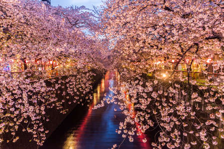 Kersenbloesem of Sakura bij het Meguro-kanaal in Tokio, Japan. bij twilight.