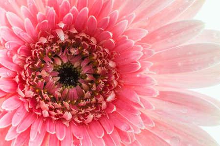 Closeup a pink gerbera daisy flower in the garden.