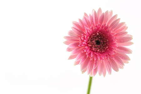 Closeup a pink gerbera daisy flower isolated on white background. Stock Photo
