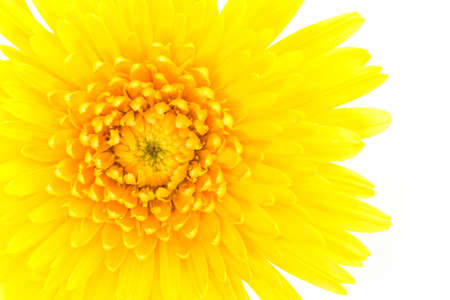 Closeup a yellow gerbera daisy flower isolated on white background. Stock Photo