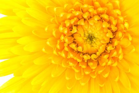 barberton daisy: Closeup a yellow gerbera daisy flower isolated on white background. Stock Photo