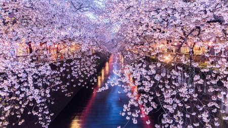 Cherry blossom or Sakura at Meguro Canal in Tokyo, Japan. at twilight. Reklamní fotografie - 69371721