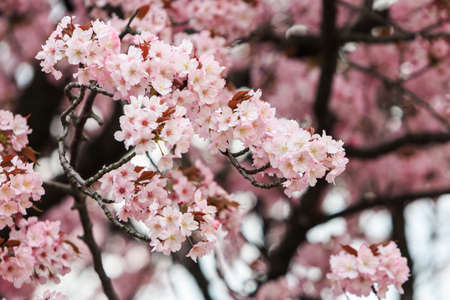 Cherry Blossom with nature background, Sakura season in Japan.  Stock Photo