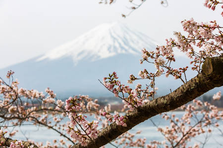 Cherry blossom with Mount fuji at Lake kawaguchiko background, Sakura season in Japan.