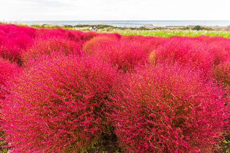 Kochia at Hitachi Seaside Park in autumn at Ibaraki, Japan. Redakční