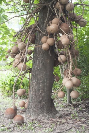 cannonball tree It is native to the rainforests of Central and South America  It is cultivated in many other places