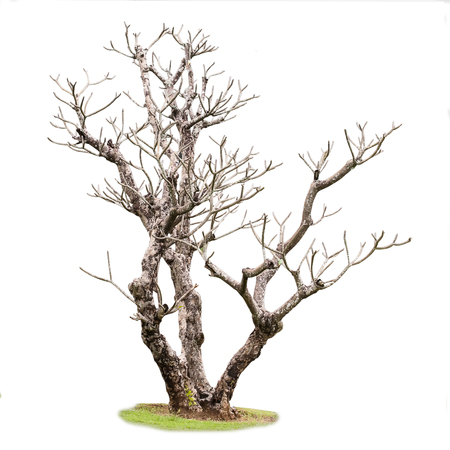 dead tree: Single old and dead tree