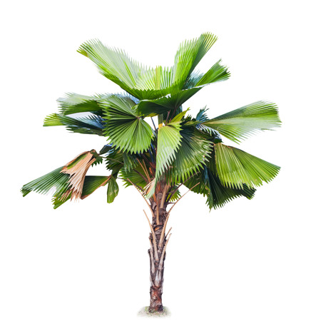 plam tree isolate