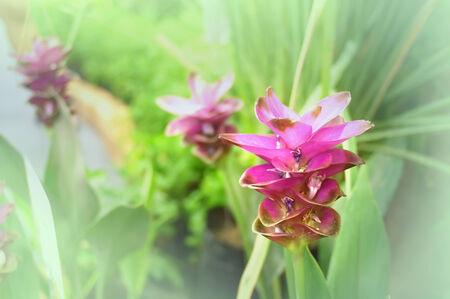 curcuma: Blooming curcuma (Curcuma alismatifolia) or Siam tulips